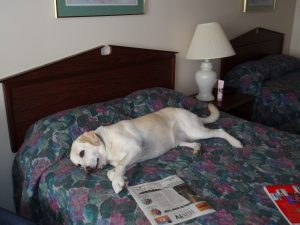 Moon gets her own bed at the Best Western in Hays